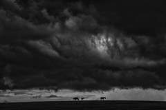 Horses braving a Storm over Kentucky (Klaus Ficker --Landscape and Nature Photographer--) Tags: horses storm thunderstorm weather weatherinkentucky rain kentucky usa kentuckyphotography klausficker canon eos5dmarkii bw blackandwhite