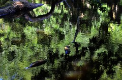 Reflets dans la mare (BrigitteChanson (mostly off)) Tags: mare feuillage reflets vert green verde eau water agua acqua sombre sousbois