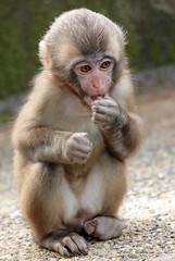 japanese macaque artis JN6A3286 (j.a.kok) Tags: makaak macaque japansemakaak japanesemacaque artis
