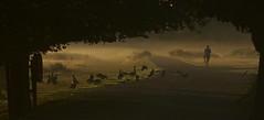 IMG_4841 (Sula Riedlinger) Tags: richmondpark richmond royalparks royalpark londonroyalparks greaterlondon urbannature surrey sunriseinrichmondpark sunrise mistysunrise mist canadageese canadagoose canadagoosebrantacanadensis brantacanadensis landscape ukwildlife ukbirding ukbirds uknature bird birds birdwatching wildlife nature nationalnaturereserve urbanwildlife greaterlondonwildlife greaterlondonparkswildlife