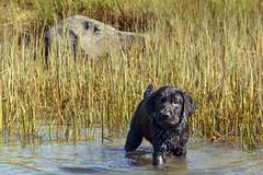 miles_i_2 (bmullaney1) Tags: black labrador dog retriever lab