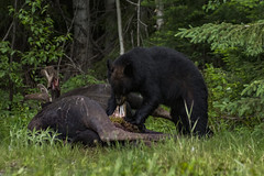 DSC_8099 (DustinHooey) Tags: algoma northernontario blackbear bear moose