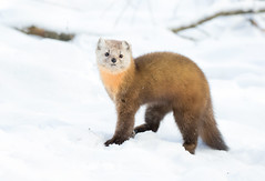 Martin (Corey Hayes) Tags: cute furry small awesome snow winter