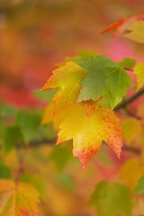 Colorful Days (Synapped) Tags: review fall autumn leaf leaves gold orange green