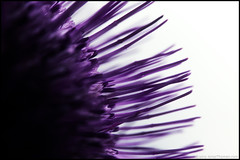 Thistle (Jonas Thomn) Tags: macro closeup thistle flash 11 makro nrbild cirsiumvulgare spearthistle tistel vgtistel