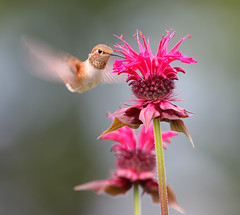 Rufous Hummingbird and Bee Balm (janruss) Tags: flower bird floral hummingbird ngc beebalm hummer avian rufoushummingbird colorphotoaward janruss janinerussell magicunicornverybest coth5 magicunicornmasterpiece