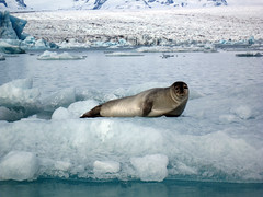 "A seal on an ice floe in a glacier lagoon • <a style=""font-size:0.8em;"" href=""http://www.flickr.com/photos/16564562@N02/7598217574/"" target=""_blank"">View on Flickr</a>"