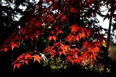 Japanese Maple (mistermanuel2012) Tags: huskies japanesemaple redmaple seattlearboretum univeristyofwashington uwseattle seattleuw arboretumuniversityofwashington uwseattlewa