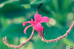 IMG_0753 (indikaparane) Tags: flowers nature kit srilanka lense 18135 araliya canon600d