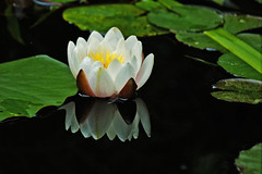 Water lily. (sidibousaid60) Tags: flower reflection pond waterlily lily floating