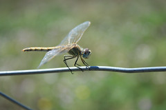 Dragonfly (Carine.C) Tags: nature canon insect raw dragonfly insecte libellule bassin faune canoneos450d kenkoautomaticextensiontubesetdg