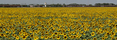 Italy - Sunflowers (BirdMission) Tags: