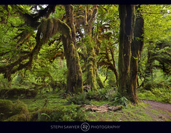 Hoh Rain Forest Dawn (Steph Sawyer Photography (on and off)) Tags: green pacificnorthwest wa forks olympicnationalpark mossy hohrainforest stephsawyerphotography nationalparktemperaterainforest