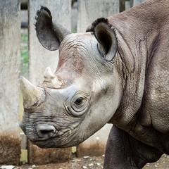 Bronzed Rhino (cunningba) Tags: bronze zoo rhino rhinoceros 2012 blackrhinoceros mudbath clevelandmetroparkszoo dicerosbicornismichaeli barrycunningham rhinoexhibit