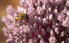 IMG_3028 (Kate H2011) Tags: uk england flower macro nature closeup garden insect unitedkingdom lilac allium 2012 canonefs1855mmf3556 katehighley