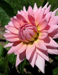 """Dahlia """"Paragon,"""" Bayard Cutting Arboretum State Park, NY..... (Explore #353, August 5, 2012) (Puzzler4879) Tags: pink dahlia flowers ngc pointshoot dahlias canonpowershot paragon pinkflowers doublefantasy score10 canondigital bayardcuttingarboretum canonaseries floralfantasy canonphotography perfectpetals canonpointshoot dahliaflowers pinkdahlias a580 dahliagardens excellentsflowers mimamorflowers canona580 pinknpowerful canonpowershota580 powershota580 100commentgroup thebestofmimamorsgroups unforgettableflowers mamasbloomers naturescarousel longislanddahliasociety naturewithallitswonders weloveallflowers silveramazingdetails level1photographyforrecreation ~~fragrantflowers~~ level3photographyforrecreation level2photographyforrecreation prestigenaturecompetitionsrus redlevelno1 yellowlevelno2 dahliaparagon"""