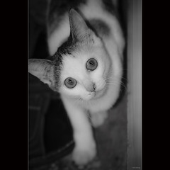 lovely cat [ EXPLORED ] (-clicking-) Tags: blackandwhite bw pet monochrome animals cat blackwhite eyes watch kitty shy cutecat shyness nocolors cutekitty lovelycat