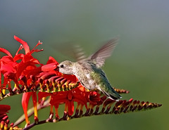 Anna's Hummingbird and Crocosmia 2 (janruss) Tags: flower bird floral hummingbird ngc npc hummer crocosmia avian annashummingbird supershot thegalaxy avianexcellence janruss janinerussell magicunicornverybest coth5 magicunicornmasterpiece sunrays5