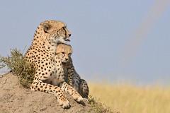 ADS_Kenya_000043408 (dickysingh) Tags: africa wild kenya wildlife safari mara masai masaimara sunworld suwnorld wwwranthambhorecom