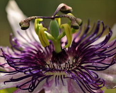Heart of the passiflora (Foto Martien (thanks for over 2.000.000 views)) Tags: flower holland macro netherlands fleur dutch sony flor nederland tropical passiflora alpha blume passionflower geotag slt veluwe passionsblume bloem a77 macrophoto maracuj geotagging passiebloem passiflore tropisch harskamp passionvine thegalaxy zorgboerderij zorginstelling passiflorahoeve martienuiterweerd bestcapturesaoi martienarnhem mygearandme mygearandmepremium minoltamacro100mm28mm mygearandmebronze mygearandmesilver mygearandmegold mygearandmeplatinum mygearandmediamond fotomartien slta77v a77v sonyalpha77 geotaggedwithgps
