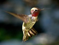 Anna's (buffalo_jbs01) Tags: nikon hummingbird annas d3s