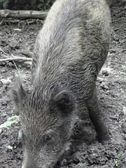 Natuurpark Lelystad 144 (cermivelli) Tags: wild nature boar naturepark flevoland wildboar zwijn everzwijn