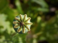 Fruto de la adormidera (III) (.Bambo.) Tags: plant flower planta flor plantae papaver opio papaveraceae papaversomniferum adormidera tóxico morfina