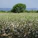 Campo di cotone verso Saldaña