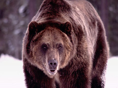 Kodiak Grizzly (MInty_Verbeten) Tags: life bear wild game west up animal animals closeup big close wildlife bears large center western planet yellowstone wyoming grizzly captive discovery kodiak captivity preservation wy wildanimals grizzlywolfdiscoverycenter wolfdiscoverycenter