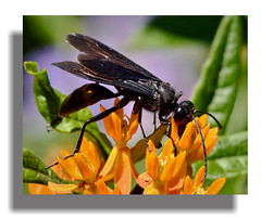 The Perfect Attractor (vidterry) Tags: wasp tripod milkweed butterflyweed iso1250 greatblackwasp brucemore blackwasp ev23 tamron180mmmacro nikond7000 11600thf11 blackwasponbutterflyweed