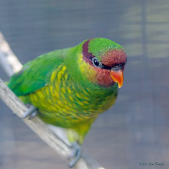 Mount Apo Lorikeet - Ready to fly right out of your screen. (SARhounds) Tags: sandiegozoo narrowdof mountapolorikeet trichoglossusjohnstoniae wingsofaustralasia shotthroughwire