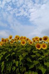 2012 Sunflower #9 (Yorkey&Rin) Tags: summer japan august bluesky sunflower g3 kanazawa rin 2012  zama  p1120251 mzuikodigitaled918mmf4056