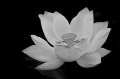 The Lotus (waynekorea) Tags: flowers blackandwhite flower asia lotus    hoasen flordeloto fleurdelotus  mygearandme