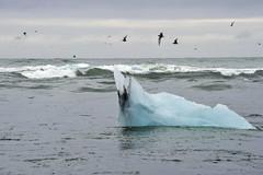 _ICL34890039 (TC Yuen) Tags: iceland jokulsarlon floatingice skaftafellnationalpark glaciallake jokulsarlonglaciallagoon
