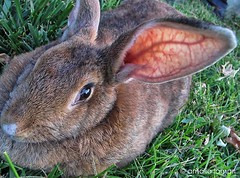 I see,I hear but I don't speak! (amalia lam) Tags: pets brown cute rabbit bunny green grass animals canon mouth photography grey eyes conejo adorable ears rabbits coelho kaninchen mustaches nationalgeographic cutebunnies ciniglio bannies