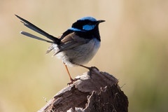 Superb Fairy-wren 2012-08-25 (_MG_2754) (ajhaysom) Tags: maluruscyaneus