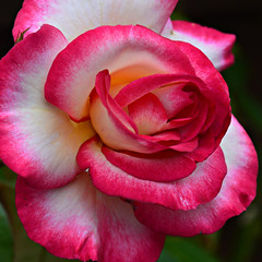 A Garden Rose (Eleanor (WHU)) Tags: pink rose garden floralfantasy perfectpetals flowersarebeautiful worldofflowers highqualityimages wonderfulworldofmacro auniverseofflowers flickrsawesomeblossoms amazingdetails unforgettableflowers addictedtoflowers flowersonflickr weallloveflowers flowers4you brigettesbeautifulnaturegallery anythingnikonexceptpeople