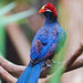 Blue and red bird