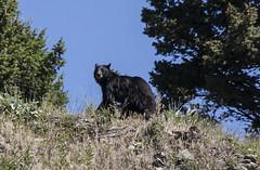 Black Bear (Kim Tashjian) Tags: bear montana wildlife