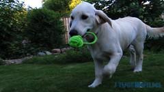 Leverans från Scooby! (J Tube-Films) Tags: scooby söt golden gullig dog puppy valp valpar hundvalp cute apport leker hundleksak