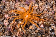 Tandurusa 1-6 (AGDobbins) Tags: indonesia anemone northsulawesi seaanemone invertebrates marinelife lembehstrait cnidarianscnidaria