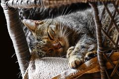 Sleeping Beauty (Claudia G. Kukulka) Tags: brni brnette cat katze tabby getigert sleeping schlafend sleep schlaf