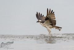 Osprey 7_25 4 (krisinct- Thanks for 12 Million views!) Tags: nikon d500 500 f4 vr g
