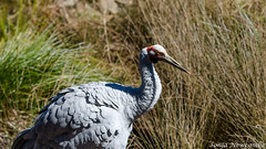 _SLN9723-2 (sonja.newcombe) Tags: tid tidbinbilla australia canberra wildlife brolga birds bird nikon d7000 sigmalens