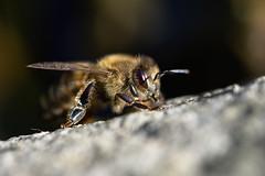 Biene (Der Felsberg) Tags: biene bienen makro macro trocknen tier tiere nikon d5200 outdoor wasser auge