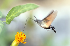 Hummingbird Hawk Moth (Johnnie Shene Photography(Thanks, 1Million+ Views)) Tags: hummingbirdhawkmoth hawkmoth moth hawk butterfly insect bug hemiptera sideview midair flapping wings limbs fulllength adjustment flying flight animal behaviour feeding nature natural wild wildlife livingorganism tranquility tranquilscene interesting awe wonder depthoffield summer day photography horizontal outdoor colourimage fragility freshness nopeople foregroundfocus stationary still motion canon eos600d rebelt3i kissx5 tamron 90mm f28 11 macro lens