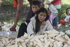 SBC_2015_31Aug_04 (susancorpuz90) Tags: zamboangadelsur cornharvest samal tukuran susancorpuz food foodsecurity