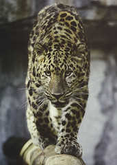 Catwalk (Paul E.M.) Tags: amur leopard asian cat endangered critically china spots pardus panthera sdzoo