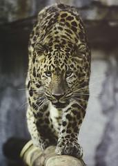 Catwalk (Paul E.M.) Tags: amur leopard asian cat endangered critically china spots pardus panthera sdzoo