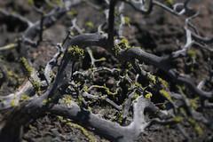 Black Crater (Tony Pulokas) Tags: modoclavabeds lavabedsnationalmonument desert california spring tree juniper blur bokeh medicinelakevolcano lichen letharia tilt rock basalt